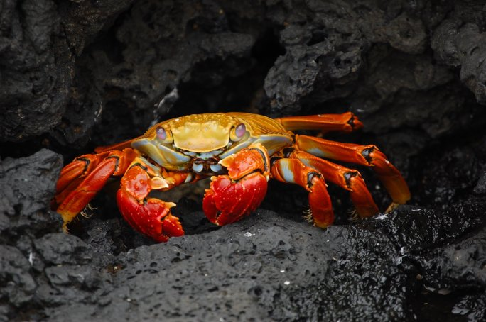 Grapsus_grapsus_Galapagos_Islands